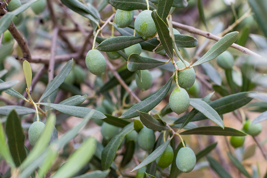 The making of olive oil | holafoodie.com