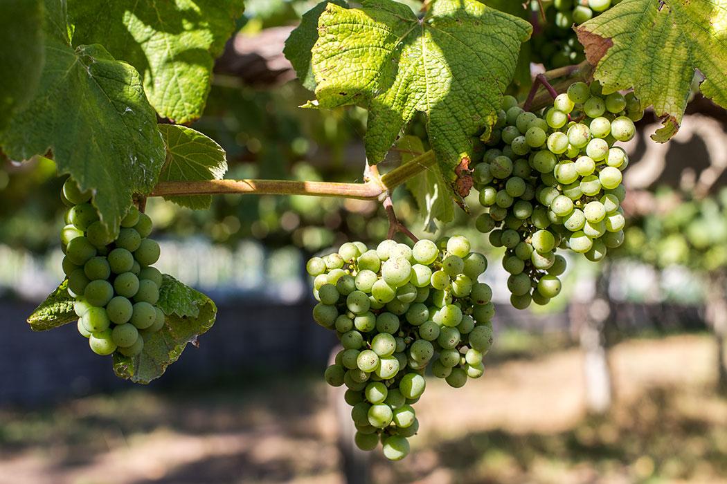 Albarino vines