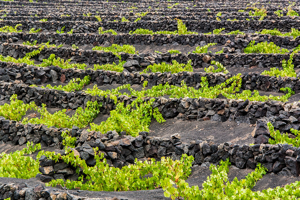 Lanzarote El Grifo Winery Vineyards